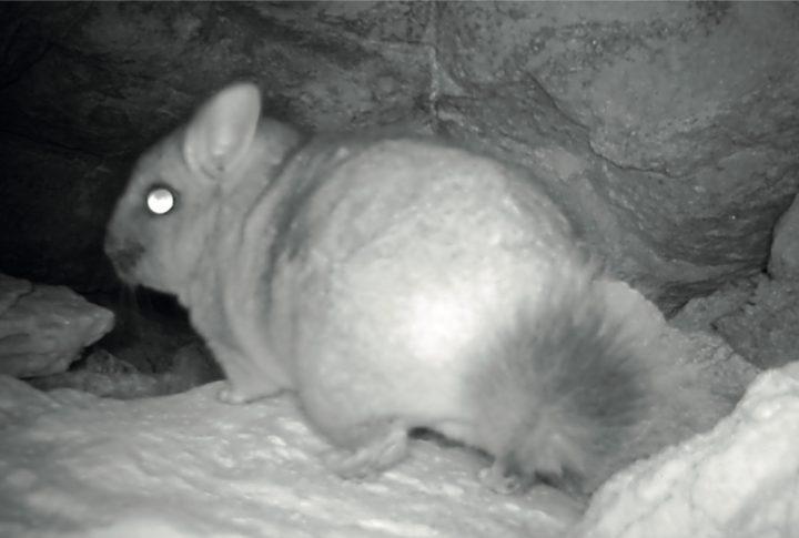 Chinchilla de cola corta. Foto: Ecodiversidad consultores