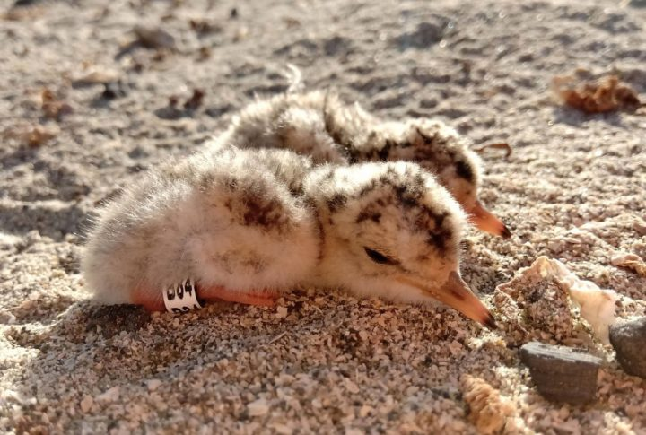 Pollos de Gaviotín chico. Foto: Fundación Gaviotín Chico